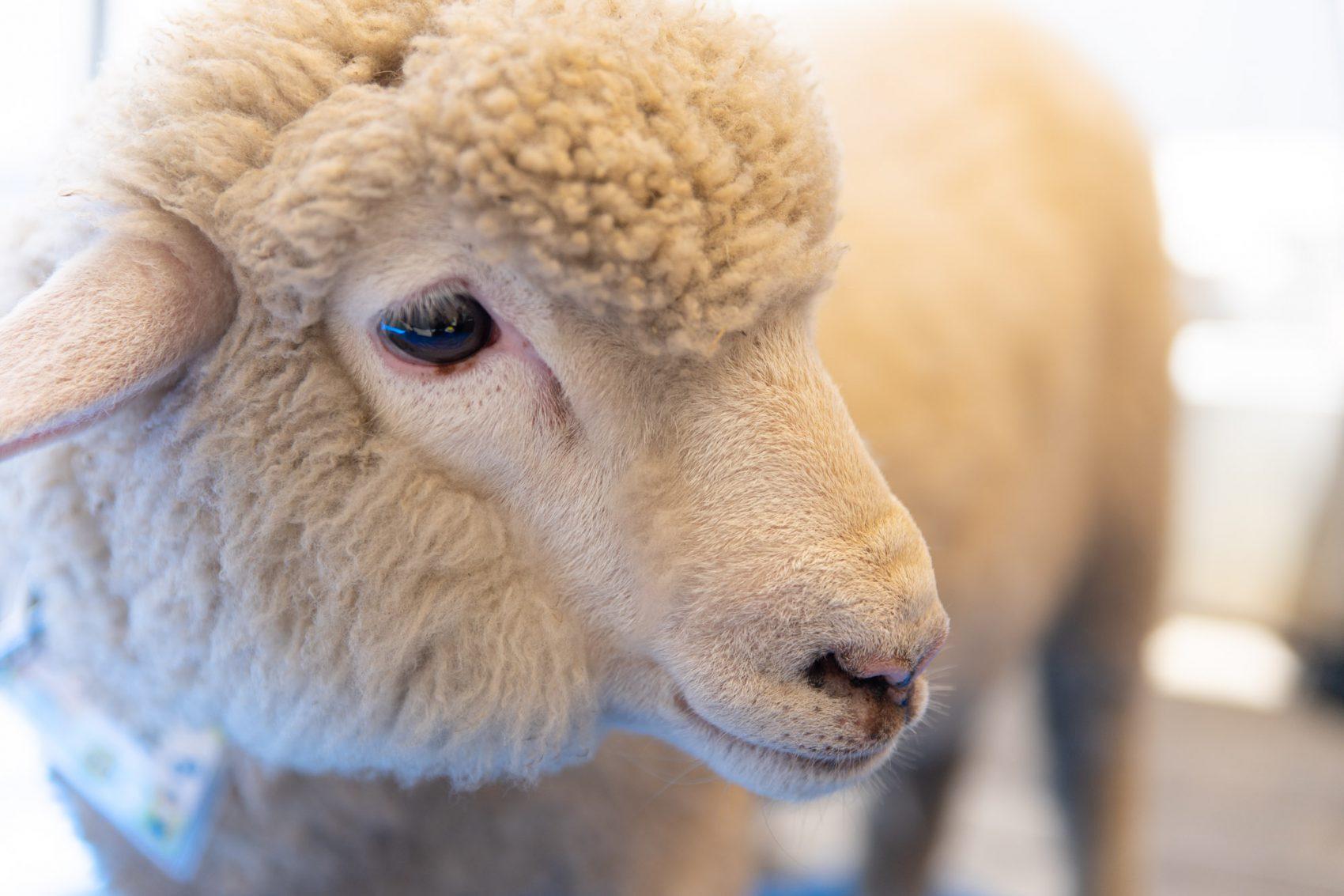 りんどう湖から羊が応援に